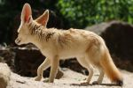 Fennec Stock 11 by Malleni-Stock