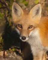 Red Fox Portrait by Les-Piccolo