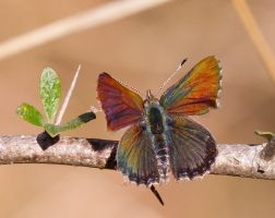 Copper-winged Butterfly 3 by Chezza932