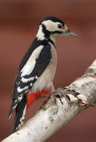 Great Spotted Woodpecker by Jamie-MacArthur