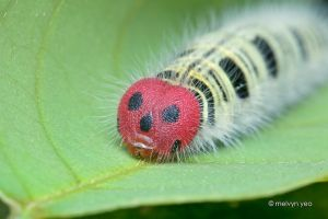 Common Awl Larva by melvynyeo