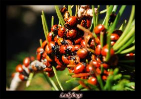 ladybugs 1 by Zoomwafflez