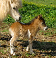 Baby Mini Horse. by Lil-Christa