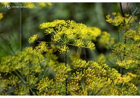 Dill by Rukkancs