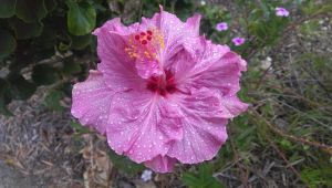 purple hibiscus by TimothyJamesGreen