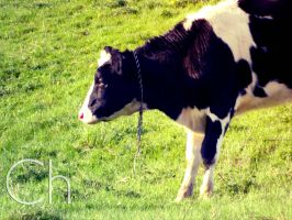 Mooo by Champineography