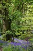 Leafy Bluebell Glade by parallel-pam
