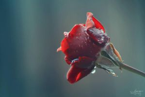 Red Rose by AnnOmar