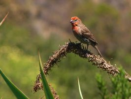 Male House Finch 4 by photographyflower
