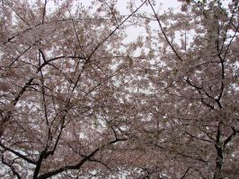 Cherry Blossom 2 by Cinami-Chan