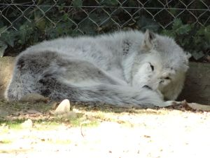 Northwestern Gray Wolf (Loup Gris du Canada) by NohlwaynKherVail