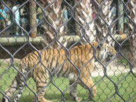 Tiger Fence by Shacchan