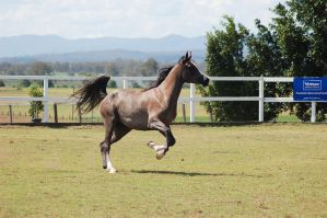 GE Arab rosegrey canter front legs up by Chunga-Stock