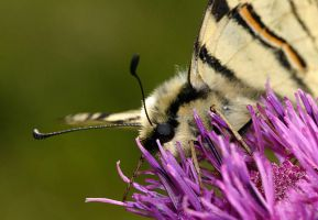 Scarce Swallowtail by marble911