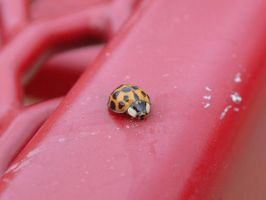 lady bug on a red table by gig