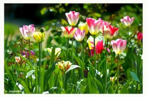 transparent tulips by bracketting94