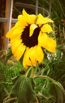 In Every Sunflower by deathbyaudio13