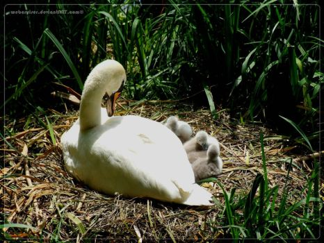 mute swan female with cygnets by webcruiser