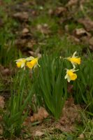 A bunch of daffodils by steppelandstock