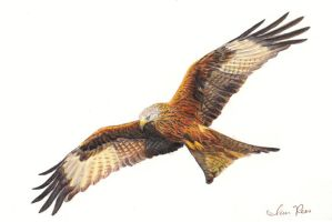 Red Kite by reesmeister