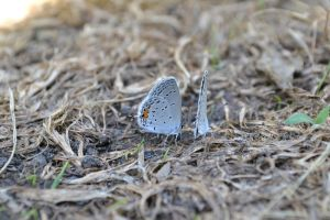 Eastern Tailed Blue Butterflies by wheresXmyXcamera