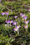 Field of crocuses by george-kay