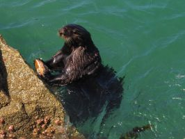 Otter Pounding An Abalone On The Rocks by Glacierman54