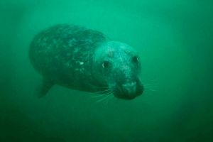 Common Seal by TonallyTormented