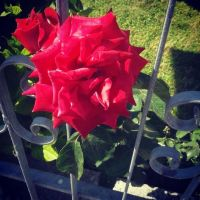 the caged red rose, the caged red love by ItalianDream