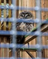 Spotted Owl by 0g0p0g0