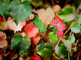 Colorful Autumn Leaves 1 by wildfox76