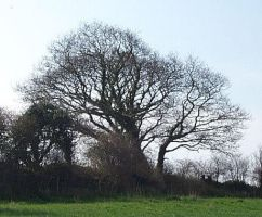 My Favourite Oak Tree by chesya