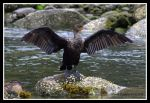 Juvenile Double-Crested Cormorant by SlateGray
