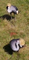 African Crowned Crane by OverStocked