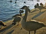 soaking the sun rays canadian geese by analovecatdog