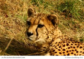 Curious Cheetah by In-the-picture