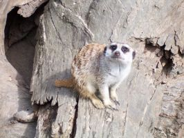 Some form of Meerkat by nkbswe5