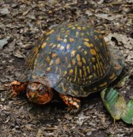 Eastern Box Turtle by Matthew-Beziat