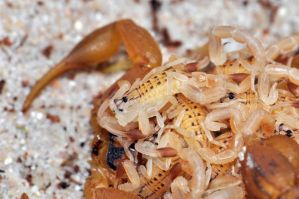 H. trilineatus with babys II by LeoGg