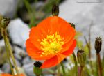 Orange Poppy at High Altitude (Leysin) by artamusica