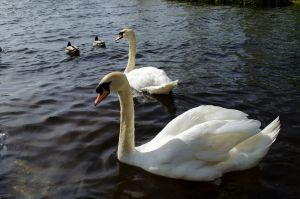 Swan lake by Blackpassion777