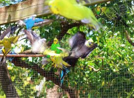 Flying Budgerigars by Seralunai