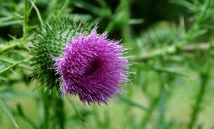 Thistle Flower-A portrait of summer in vivid color by AlgeriArts