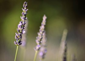 Lavender three by SLHudgensPhoto