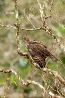 Crested Hawk-Eagle by vinayan