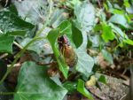 Cicada Hatch-out in Natchez, MS by wolfepaw