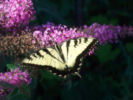 Eastern Tiger Swallowtail by somebodyaf
