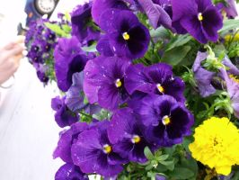 Purple Pansies by Janica23