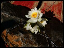 Water-lilies on a stone by Lady-DreamArt