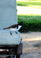 Red Whiskered BulbuL by SNiPERWOLF-UAE